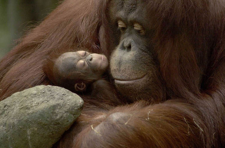 Orangs: Sophie and Denda, by Jim Schultz, photographer, Brookfield Zoo